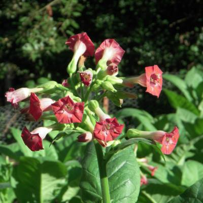 Russian Red Tobacco